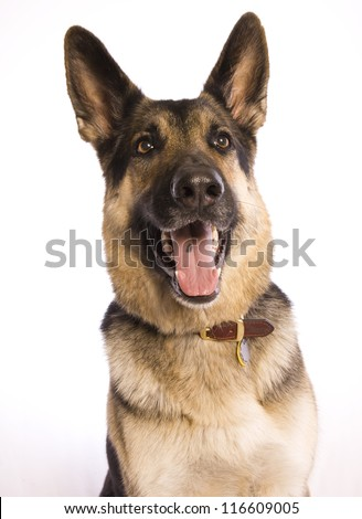 German Shepherd dog mouth open head shot isolated on white background