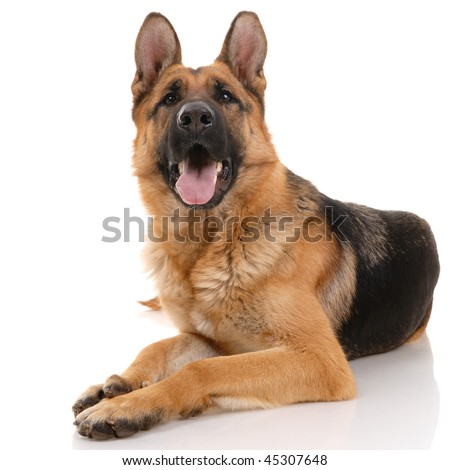 German shepherd dog on a white background.