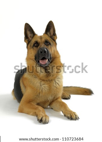 German Shepherd dog on white background