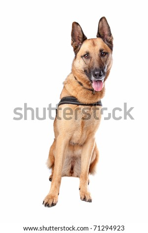 German Shepherd dog panting. Dog sitting isolated on a white background