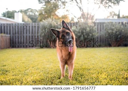 German Shepherd Dog playing on Grass Foto stock ©