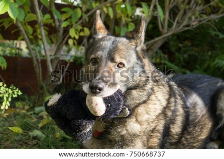 German Shepherd dog playing. Slovakia #750668737