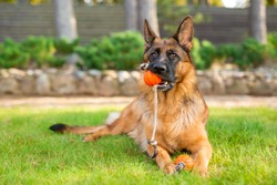 German shepherd dog playing with an orange ball in its mouth. Portrait of a playing purebred dog in summer park.