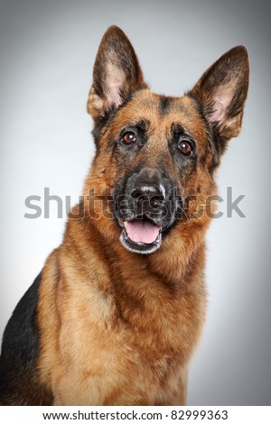 German shepherd dog portrait on a grey background