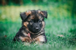 German shepherd dog posing outside. Happy and healthy dogs