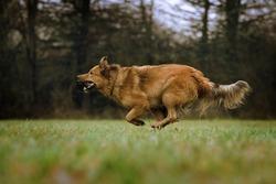german Shepherd Dog running  across a meadow - Harzer fox