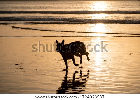 Photo of German shepherd dog running free off the leash and playing on a friendly-dog beach at sunset. Pet friendly vacation destination advertising and dog lovers image and vet backgrounds advertising.