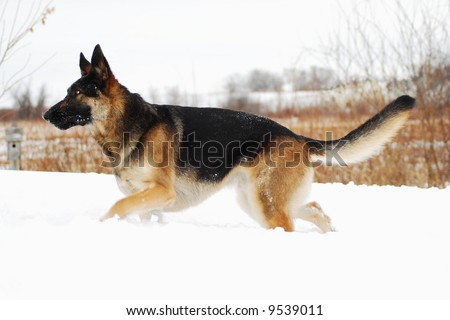 German Shepherd Dog running in the snow, with a stern look in his eye