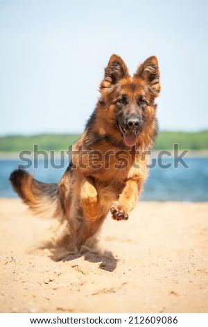 German shepherd dog running on the beach