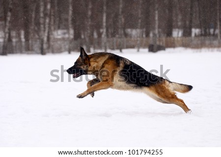 German Shepherd dog, running on the snow #101794255