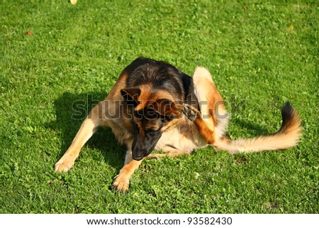 German shepherd dog scratching
