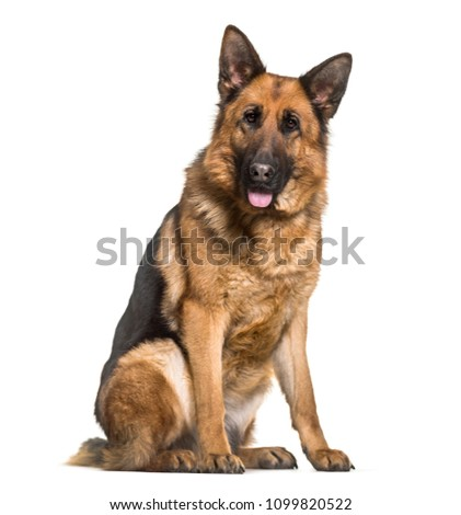 German shepherd dog sitting and panting, isolated #1099820522