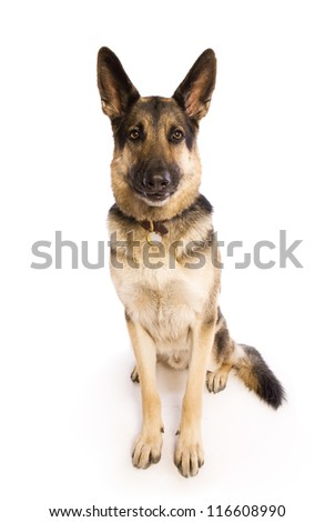 German Shepherd dog sitting isolated on white background