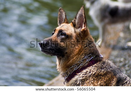 German Shepherd dog standing by water's edge at a dog park on a beautiful sunny day.