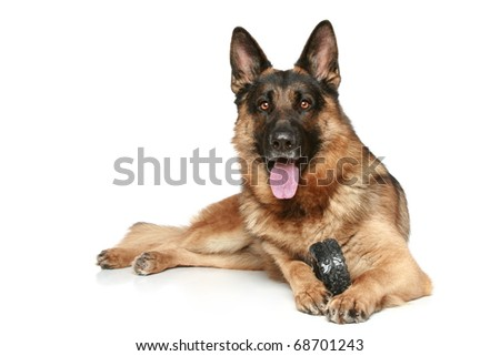 German Shepherd dog with a toy on a white background #68701243