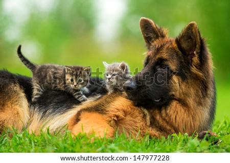 German shepherd dog with two little kittens