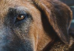 German Shepherd eye brown dog close up & Macro shot