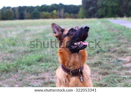 German Shepherd, German Shepherd, German Shepherd on the grass, dog in the park