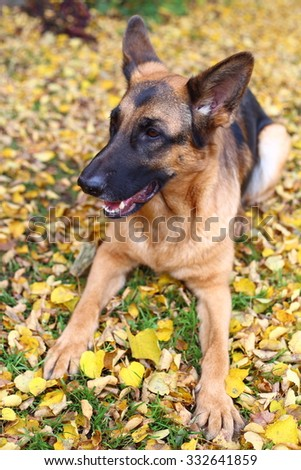 German Shepherd, German Shepherd, German Shepherd on the grass, dog in the park, dog in leaves, autumn dog