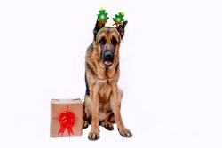 German shepherd in a Christmas tree costume with reindeer antlers and a gift box. Dog celebrates the New year. Greeting card. Animal on a white isolated background. Space for text. Copy space