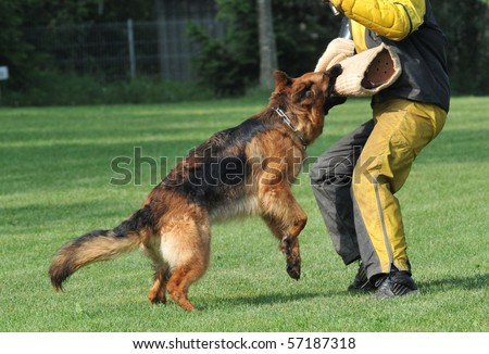 german shepherd in action