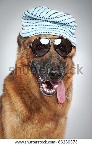 German shepherd in cap and dark sunglasses on grey background (funny series)