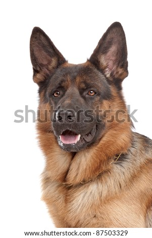 German shepherd in front of a white background