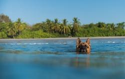 German shepherd in water swimming