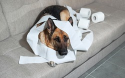 German Shepherd is lying on grey sofa wrapped in toilet paper. Dog indulged little when left alone at home and ate several rolls of toilet paper. Charming guilty pet with sad eyes.