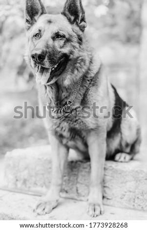 German shepherd is sitting on the street