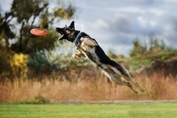 german shepherd jumping high catching flying disk, open mouth, summer outdoors dog sport competition