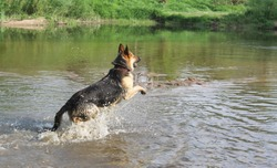 German Shepherd jumps in the water for a thrown stick. The dog runs the river and splashes fly.
