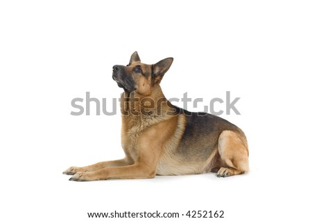 German Shepherd laying down and looking up