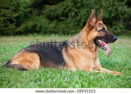 German Shepherd laying on the green grass