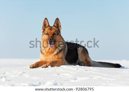 German shepherd laying on the snow