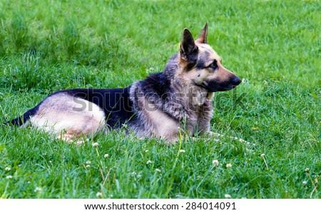 German shepherd lies. The German shepherd is on the green grass.