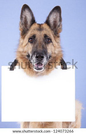 german shepherd looking attentive, with a blank banner hung on the neck. On a blue background