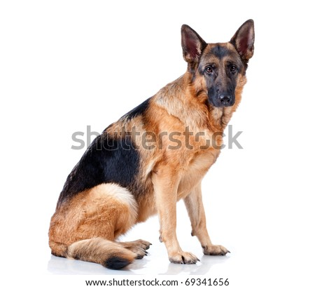 German Shepherd lying in front, isolated on white background, studio shot. #69341656