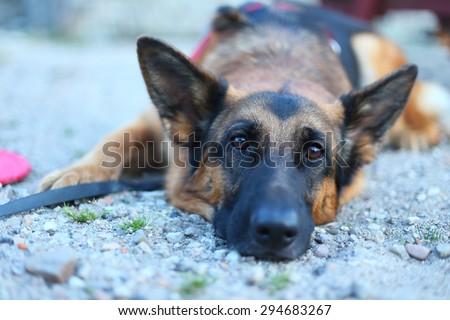 german shepherd lying on the ground, German Shepherd, dog in the park