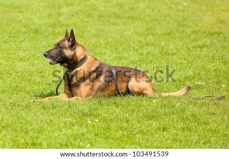 German Shepherd male dog lying down in the grass