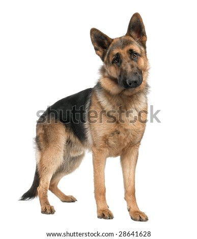 german shepherd (8 months) in front of a white background
