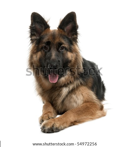 German Shepherd, 10 months old, sitting in front of white background