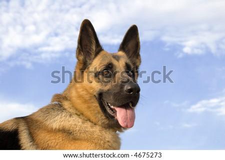 German shepherd on a background of a blue sky