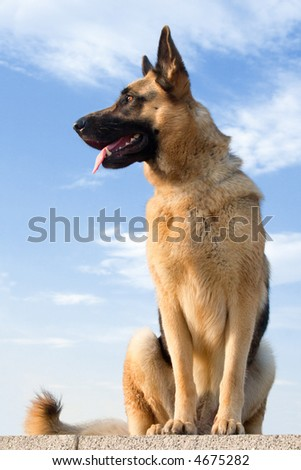 German shepherd on a background of a blue sky