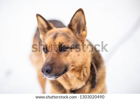 German shepherd on a leash, shot on a winter day #1303020490