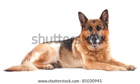 German shepherd on a white background