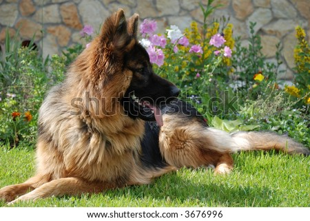 German shepherd on green lawn at country-house - stock photo