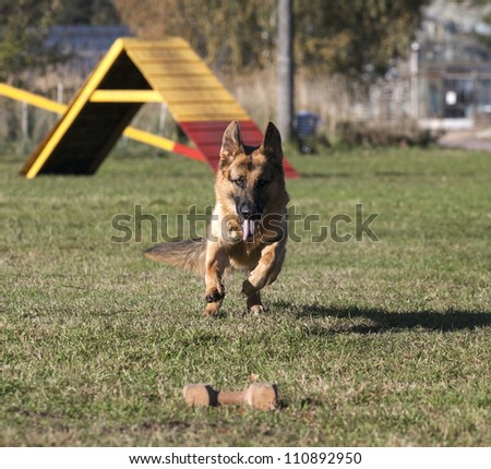 German shepherd on the dog`s playground
