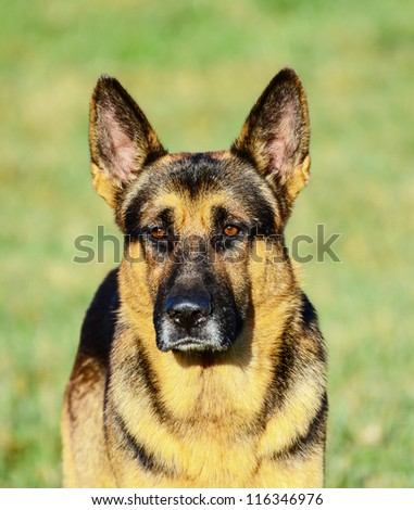 German Shepherd portrait - stock photo