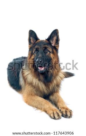German shepherd portrait on white background